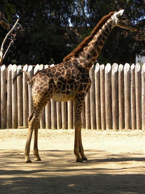heigth of an adult giraffe jpg 3000x4000