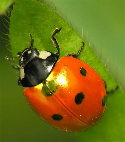 asian beetle allergy jpg 468x531